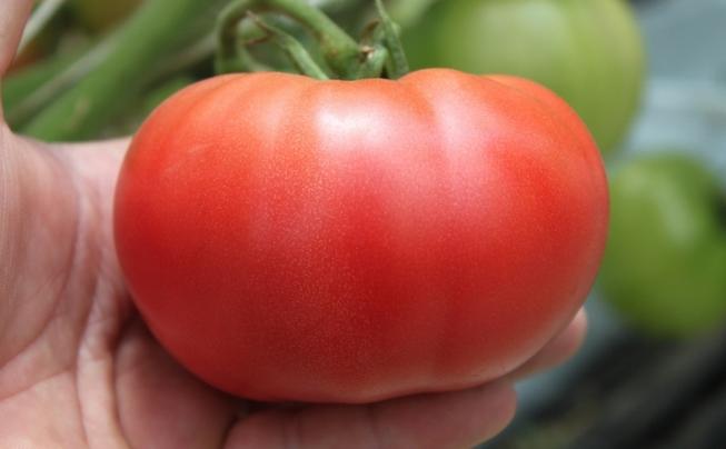 Pomidory Malinowe Na 2015 R Przegląd Odmian Uprawa Rozsada