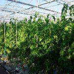 Torero F1 w gospodarstwie państwa Anny i Zbigniewa Kalińskich - dobrze zbalansowane rośliny, nasadzenie z połowy grudnia, kwitnie 8 grono (zdjęcie z 13.03.2014 r.)