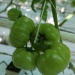 Odmiana Torero F1 w gospodarstwie Pawła Wicińskiego – pierwsze grono odmiany Torero, owoce o masie ponad 300 g (BBB i BBBB).