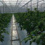 Odmiana Admiro F1 - rośliny nieszczepione, siew 04 grudnia 2013 r, 15-20.01.2013 rośliny wystawiane do szklarni 15-20 stycznia, od razu na otwory w matach (uprawa państwa Pytlików, zdjęcie z 6 lutego 2013 r.)