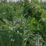 Odmiana Admiro F1 w czasie kwitnienia drugiego grona. Silne rośliny, dobrze ukształtowane drugie grono.