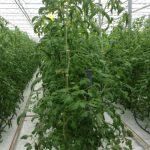 Pomidor malinowy Tomimaru Muchoo F1 w gospodarstwie państwa Anny i Zbigniewa Kalińskich - dobrze zbalansowana roślina (zdjęcie z 10 lutego 2014 r.)