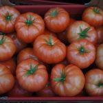 Pomidor szklarniowy Torero F1, zbior 14.03.2014 – średnia masa owocu 250-300 g