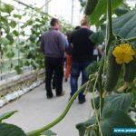 Główną odmianą uprawianą od trzech lat w gospodarstwie jest Kybria RZ