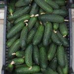 Owoce odmiany Kybria RZ zebrane w dniu spotkania