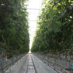 Tomiamaru Muchoo F1 – silne rośliny, bardzo dobrze zawiązane owoce na pierwszym i kolejnych gronach, zrównoważony rozwój (zdjęcie z 27.03.14 r.)
