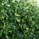 Tomimaru Muchoo F1 – silne rośliny, bardzo dobrze zawiązane owoce na pierwszym i kolejnych gronach, zrównoważony rozwój (zdjęcie z 27.03.14 r.)