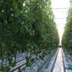 Nowa odmiana pomidora DR4003TH w gospodarstwie Marka Bajona we Włoszakowicach, zdjęcia z 26.03.2014 r. Rośliny tuż przed początkiem owocowania – dobre wiązanie i rozwój owoców w kolejnych gronach.