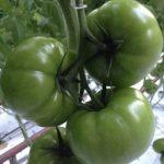 Nowa odmiana pomidora DR4003TH w gospodarstwie Marka Bajona we Włoszakowicach, zdjęcie z 26.03.2014 r. Pierwsze grono.