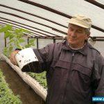 Mieczysław Borek prezentuje rozsadę pomidora w pierścieniu, korzenie dobrze rozwinięte, przerastają całą objętość pierścienia