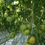 pomidor Admiro