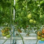 Pomidor Merlice pod szkłem dyfuzyjnym