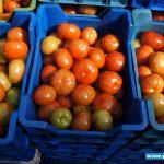 Pomidory Admiro F1 gotowe do sprzedaży (zdjęcie z 08. 04. 2014, gospodarstwo braci Chrzanów w Głuchowie)
