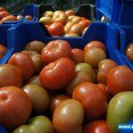 Owoce odmiany Admiro F1 gotowe do sprzedaży (zdjęcie z 08. 04. 2014, gospodarstwo braci Chrzanów w Głuchowie)