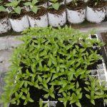 Pikowanie papryki - siewki odmiany Yecla w wielodoniczce, w substracie z firmy Hollas, rośliny są pikowane w cylindry wypełnione substratem z firmy Novarbo, Gaj Koniemłocki