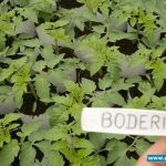Rozsada pomidora Boderine w gospodarstwie Mieczysława Borka w Gaju Koniemłockim