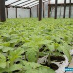 tak 12 kwietnia prezentowała się rozsada pomidora pod numerem T410586, Gaj Koniemłocki