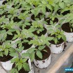 Rozsada pomidorów malinowych do tuneli