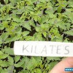 Rozsada śliwkokształtnego pomidora Kilates przygotowana w cylindrach wypełnionych substratem torfowym