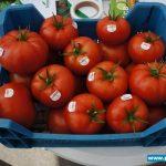 Pięknie wybarwione i kształtne owoce odmiany Foronti F1 w Gospodarstwie Państwa Sabiny i Jacka Kurkowskich koło Grudziądza (23.05.2014 r.)
