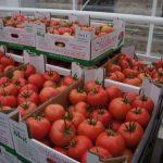 Owoce malinowej odmiany Tomimaru Muchoo F1 gotowe do sprzedaży – Gospodarstwo Państwa Mikulskich w Jutrosinie.