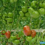 Pomidor wielkoowocowy odmiany Foronti F1 w szklarni państwa Rychterów