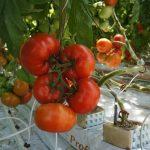 Grono kształtnych, głęboko- czerwonych owoców odmiany Foroniti F1 w Gospodarstwie Państwa Sabiny i Jacka Kurkowskich koło Grudziądza (23.05.14 r.)