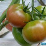 Pomidor malinowy Tomimaru Muchoo F1 - Tłokinia Kościelna, uprawa państwa Rychterów