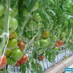 Pomidor wielkoowocowy Torero F1 w uprawie państwa Rychterów w Tłokini Kościelnej