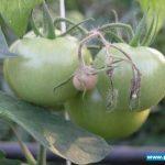 szara pleśń na owocach
