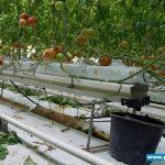 Forteco Basic - uprawa pomidorówPOmidory wielkoowocowe Forteco Basic