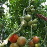 uprawa pomidorów w podłożu kokosowym