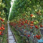 Pomidory wielkoowocowe na podłożu kokosowym