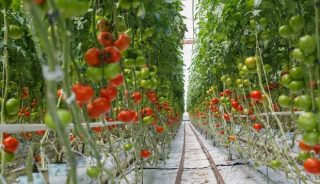 pomidor Altadena