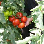 pomidor Baribine F1