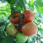 pomidory Admiropomidor Admiro