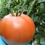 pomidor Torero F1
