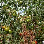 objawy żerowania przędziorka na pomidorach