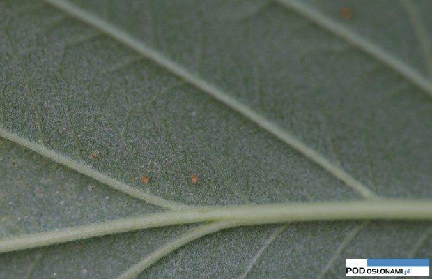 dobroczynek szklarniowy (Phytoseiulus persimilis)