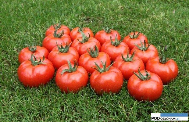 pomidor Eurasia F1 (Asya F1)