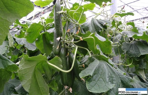uprawa og 243 rk 243 w w sądeckich szklarniach uprawa rozsada