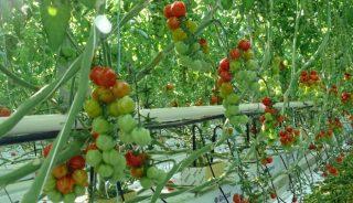 pomidor Edioso F1