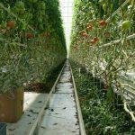 pomidopomidory malinowe
