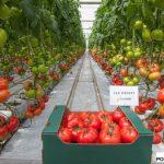 Pomidor wielkoowocowy Beef Bang F1