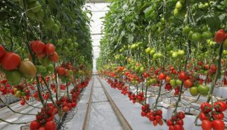 Pomidor śliwkowy Cardyna F1