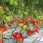 Pomidor śliwkowy Colibry F1