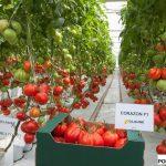 """Pomidor """"bawole serce"""" Corazon F1"""