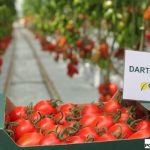 Pomidor śliwkowy Dartagnan F1