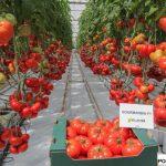 "Pomidor ""bawole serce"" Gourmandia F1"