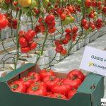 Pomidor wielkoowocowy Oasis F1